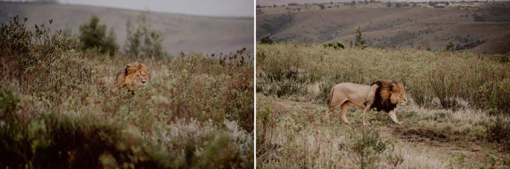 Lion Löwe Safaritour Gondwana