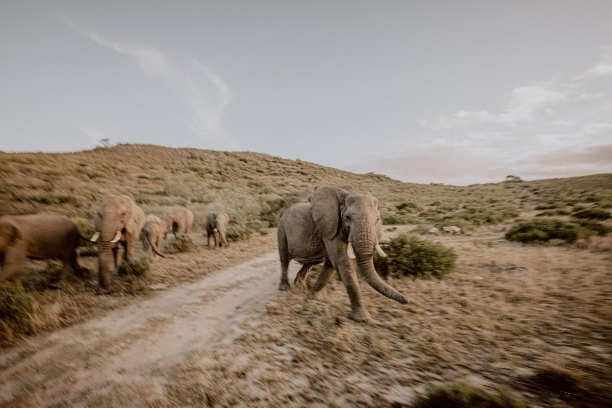 Elefanten Auslandshochzeit Südafrika Safari
