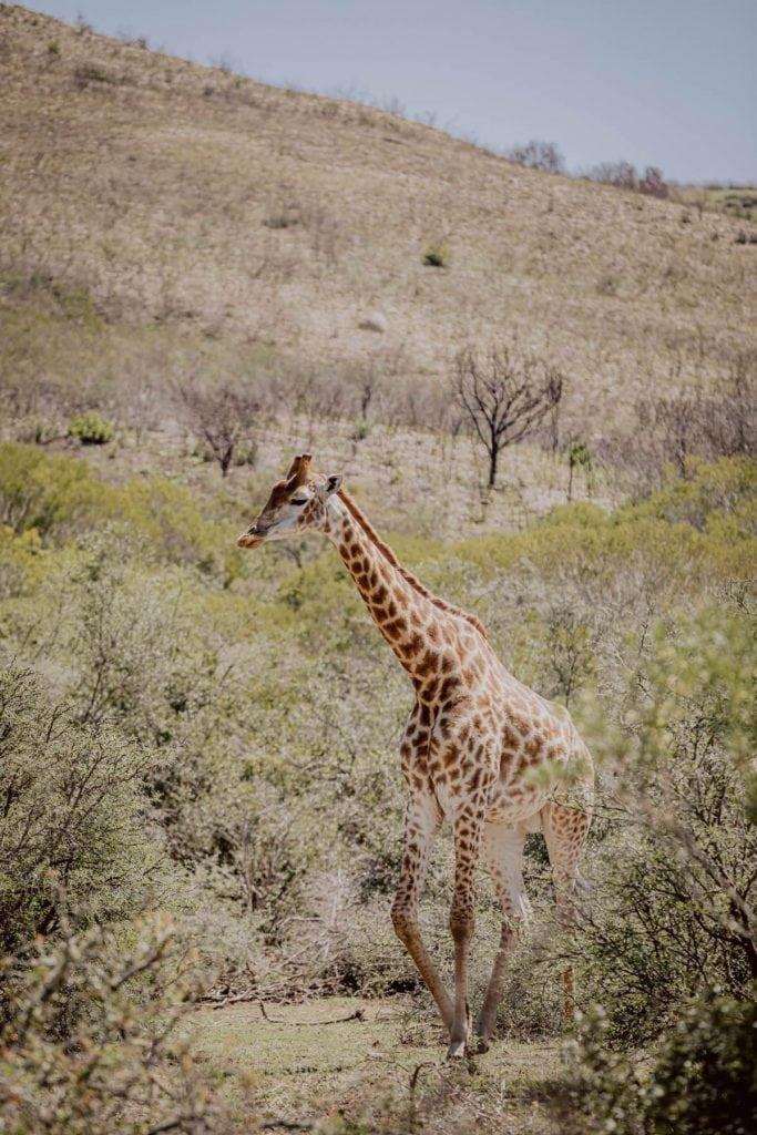 Zebra Safari Südafrika