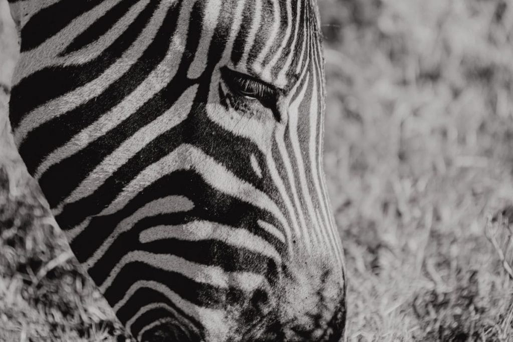 Zebra Safari Gondwana