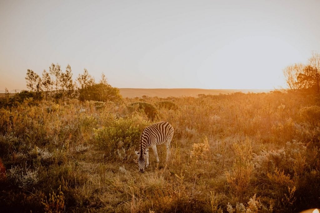 Gondwana South Africa Sunset Safari Wedding Zebra